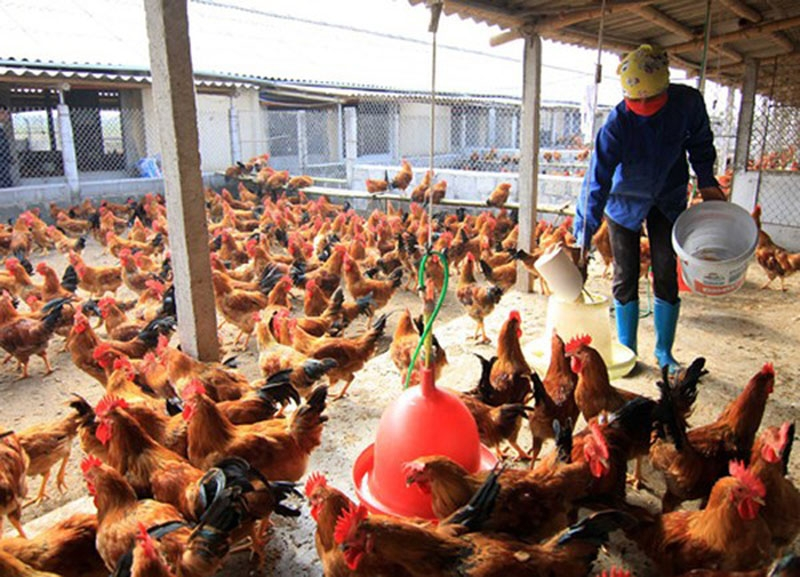 DỊCH VỤ ĐĂNG KÝ LƯU HÀNH THỨC ĂN CHĂN NUÔI gà